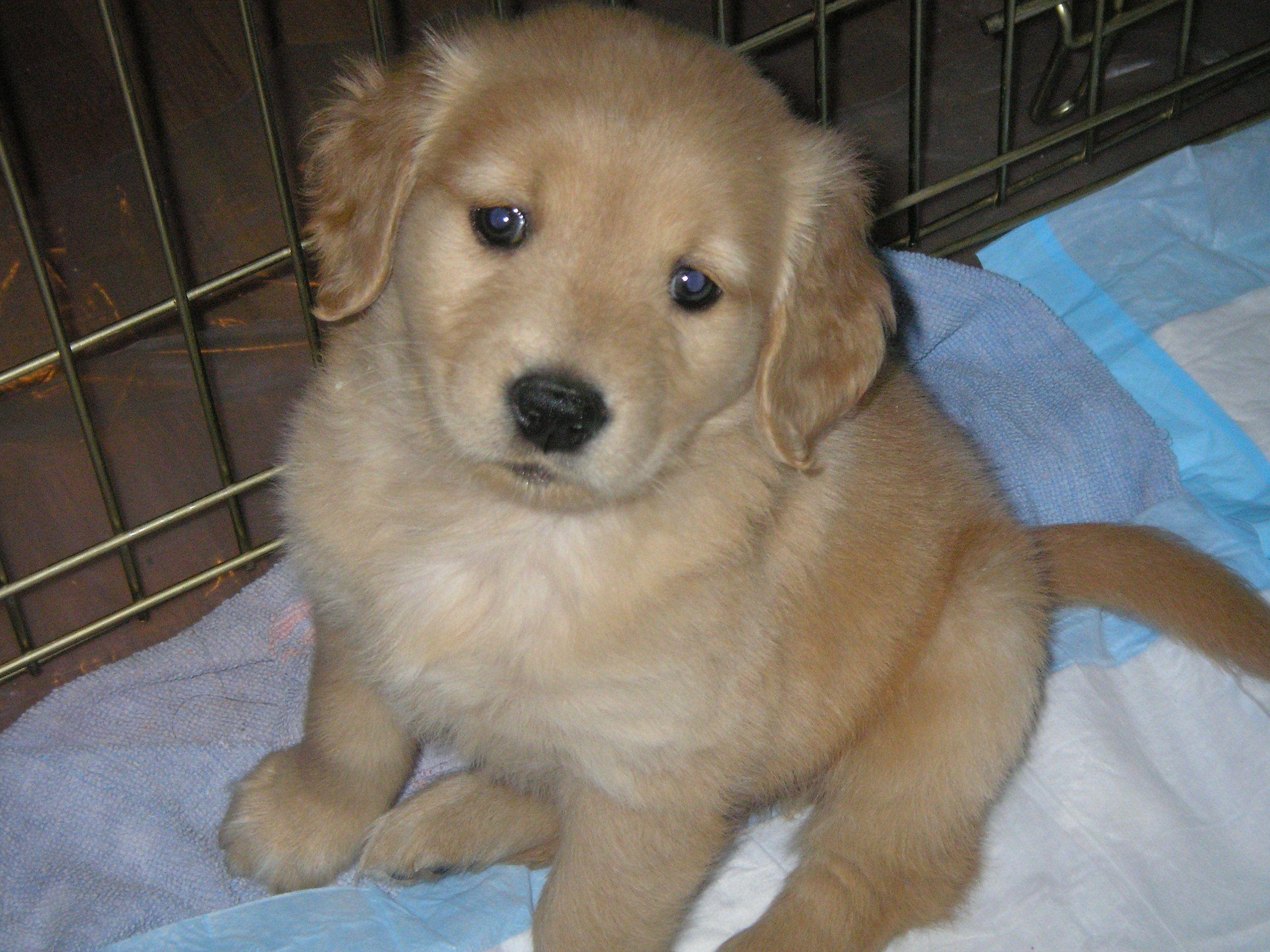 Aww When My Baby Was A Baby Golden Retriever Puppy Golden Retriever Baby Golden Retriever Golden Retriever Puppy
