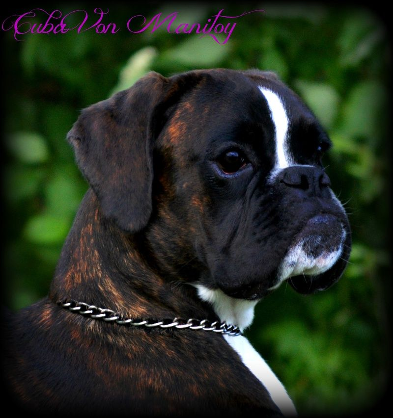 Havenwoods Boxers Top Quality Akc German And American Boxers Based In Central Ohio Show Quality W In 2020 Boxer Puppies For Sale Boxer Puppies Brindle Boxer Puppies