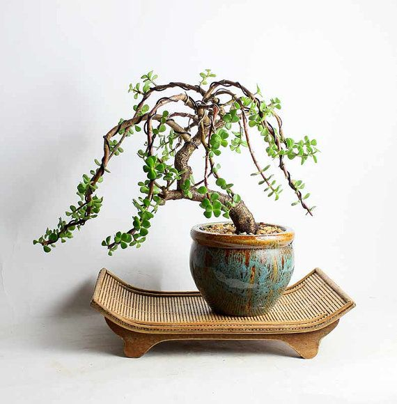 Weeping Dwarf Jade Bonsai Tree By Livebonsaitree By