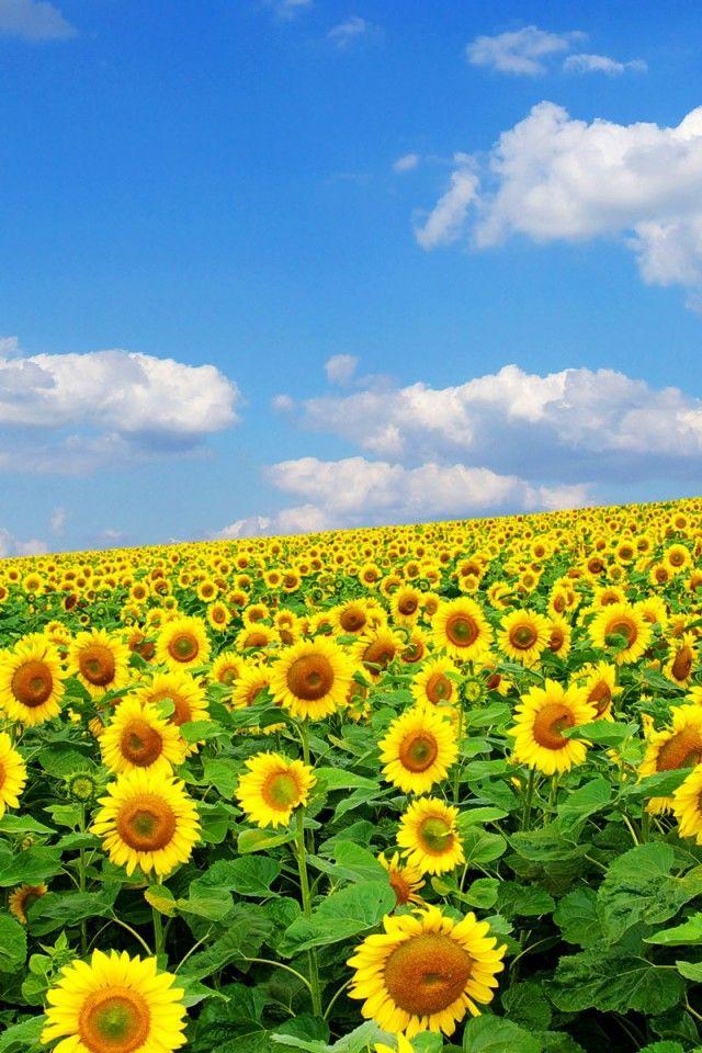 High Summer An Endless Field Of Sunflowers Under A Warm Blue Sky