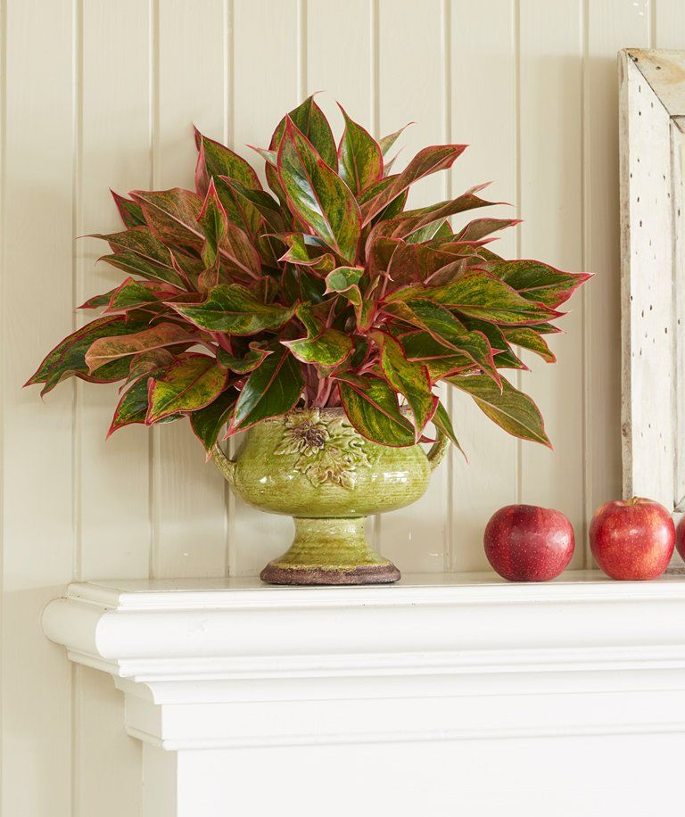 Indoor Evergreen Trees: Chinese Evergreen A Reliable, Decorative Houseplant