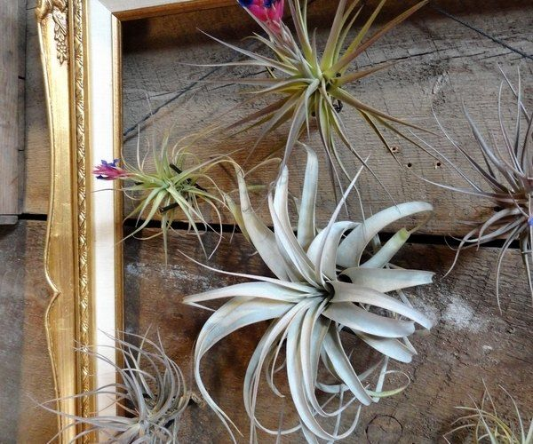 50 Creative Ideas To Display Your Air Plants In A Most: Most Beautiful Air Plant Display Ideas Picture Frame