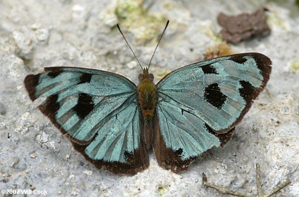 Four-spotted Sailor (Dynamine postverta)