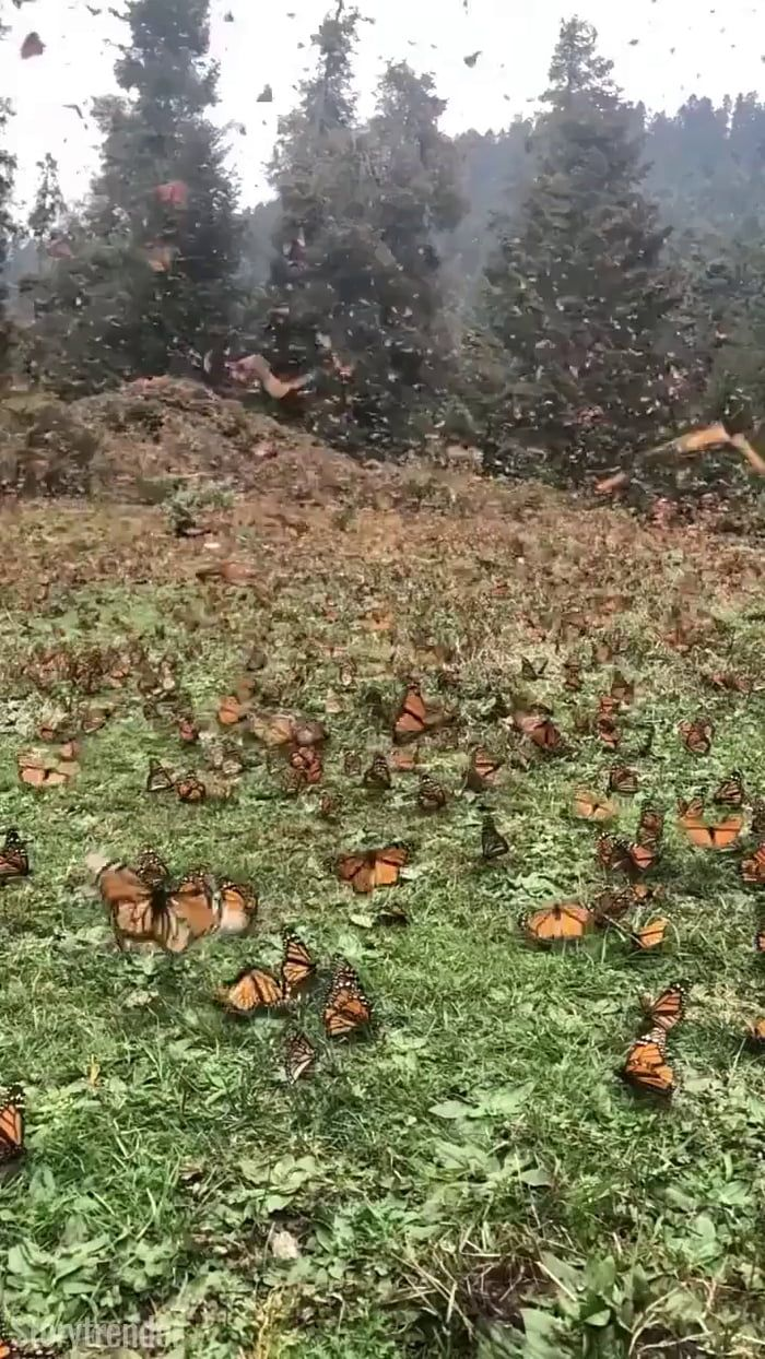 Millions of butterflies at the Michoacán Monarch sanctuary. - 9GAG