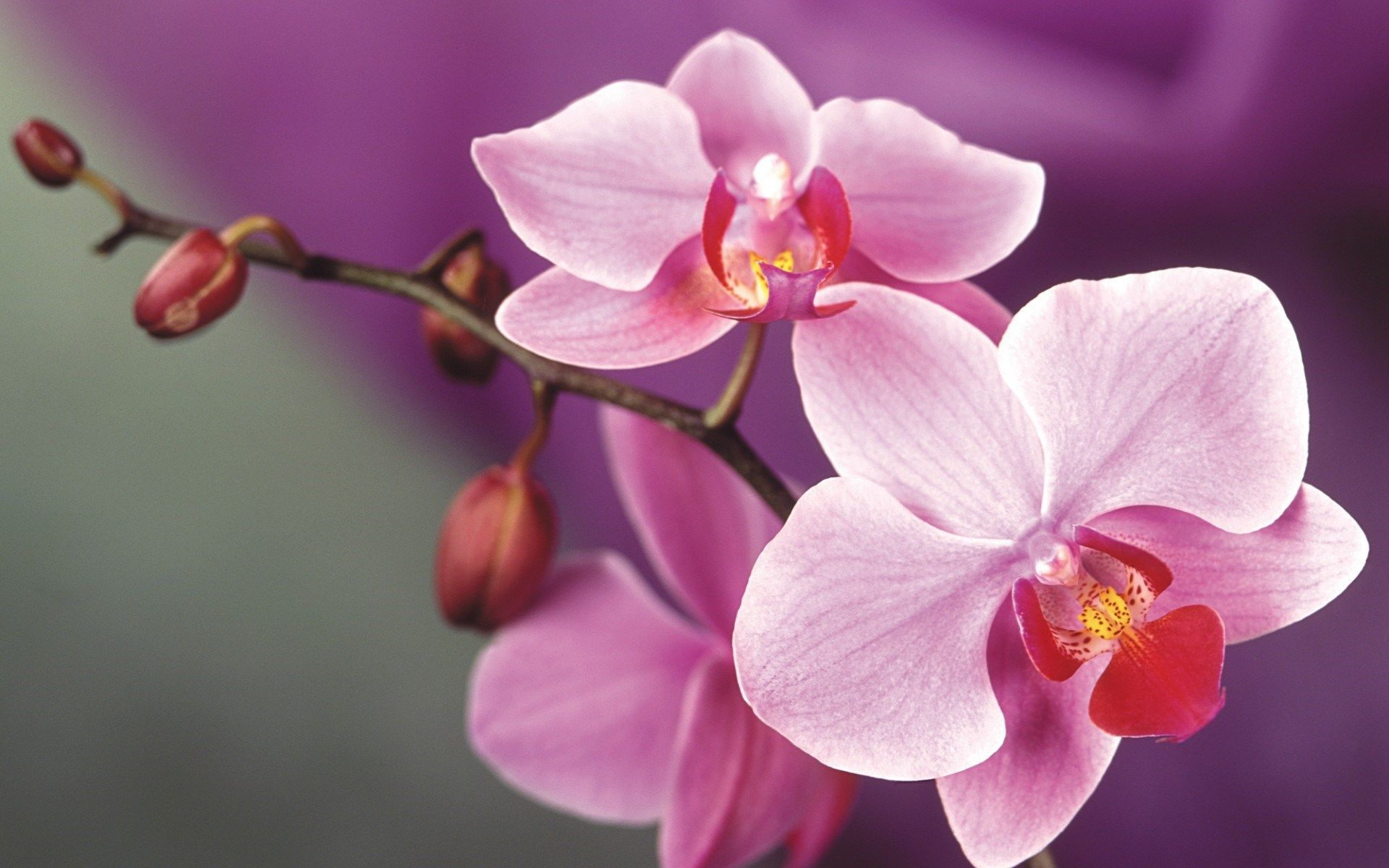 Pink Orchids Orchid Flower Orchid Wallpaper Orchids