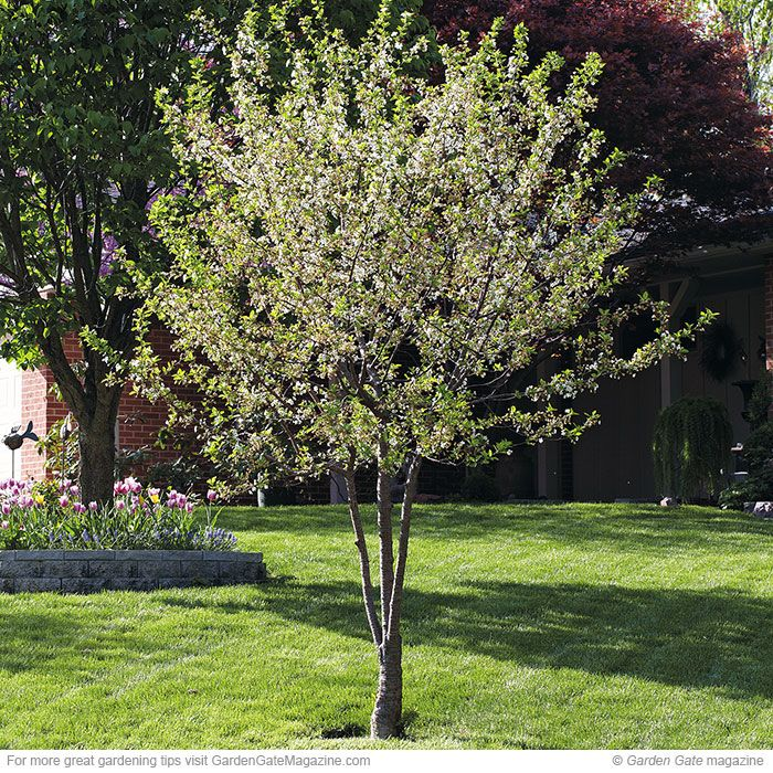 North Star Sour Cherry Sour Cherry Tree Trees To Plant Cherry Trees Garden