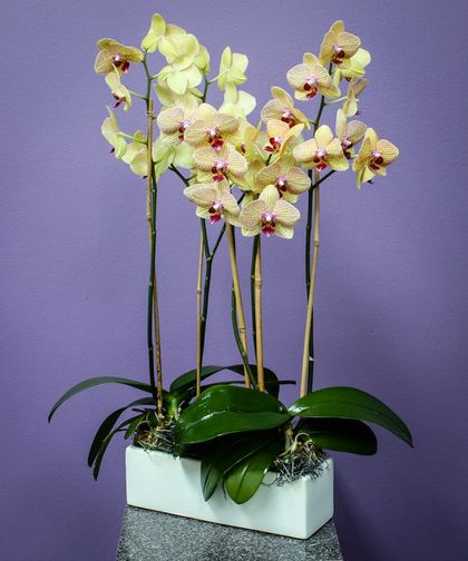 Orchid Abundance Two Novelty Orchid Plants Are Gathered In A Long Rectangle Ceramic Container For Same Day Flower Delivery Flower Delivery Floral Arrangements