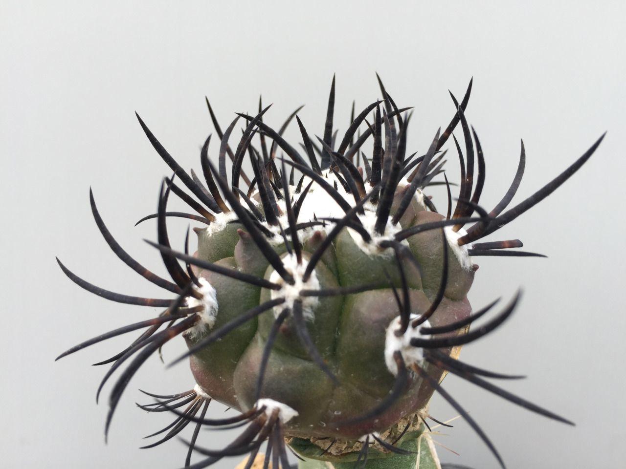 Copiapoa Griseoviolacea · Cactus FlowerShade GardenGarden ...