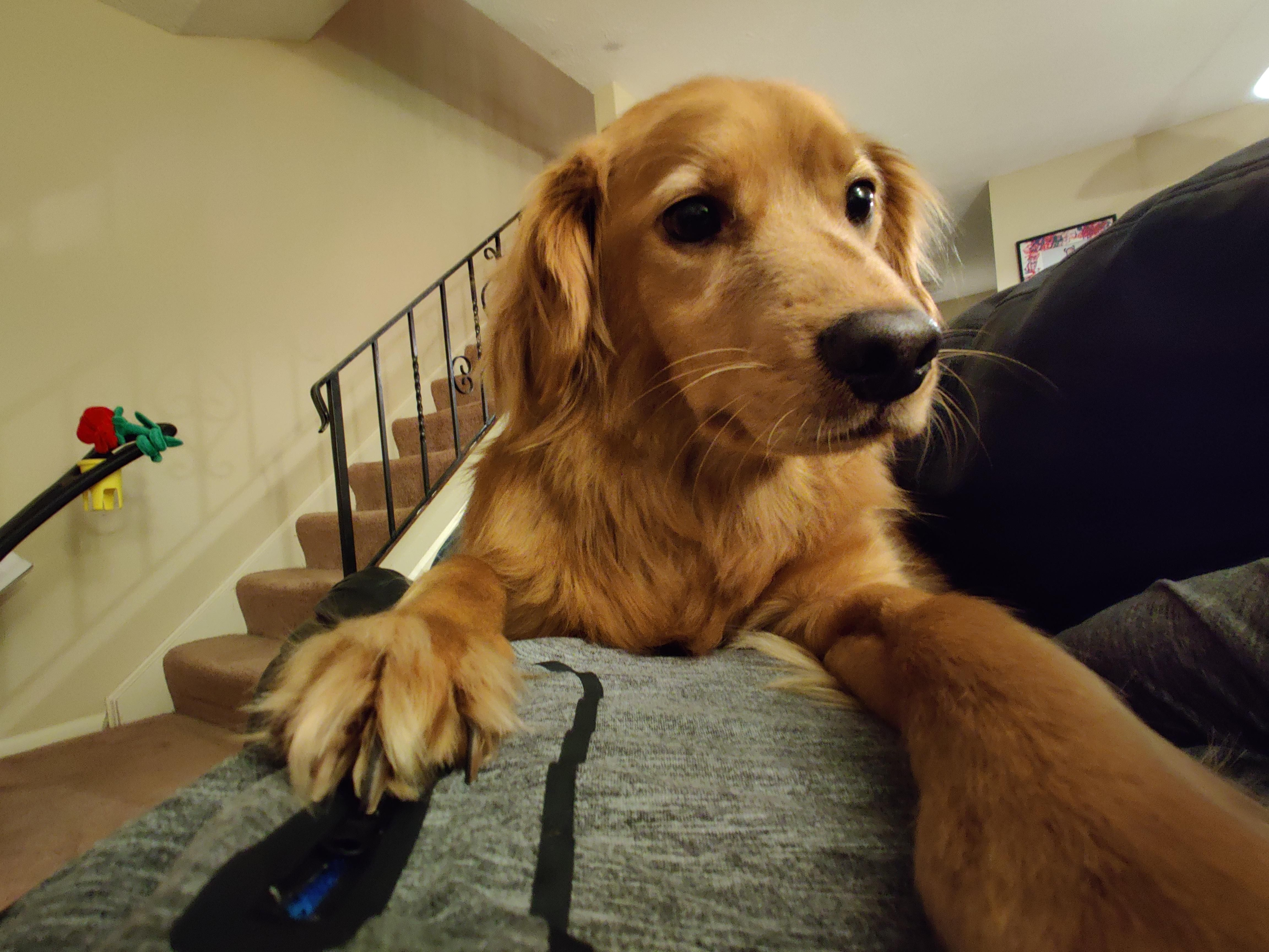 Giant Dog In 2020 Cute Cats And Dogs Golden Retriever Giant Dogs
