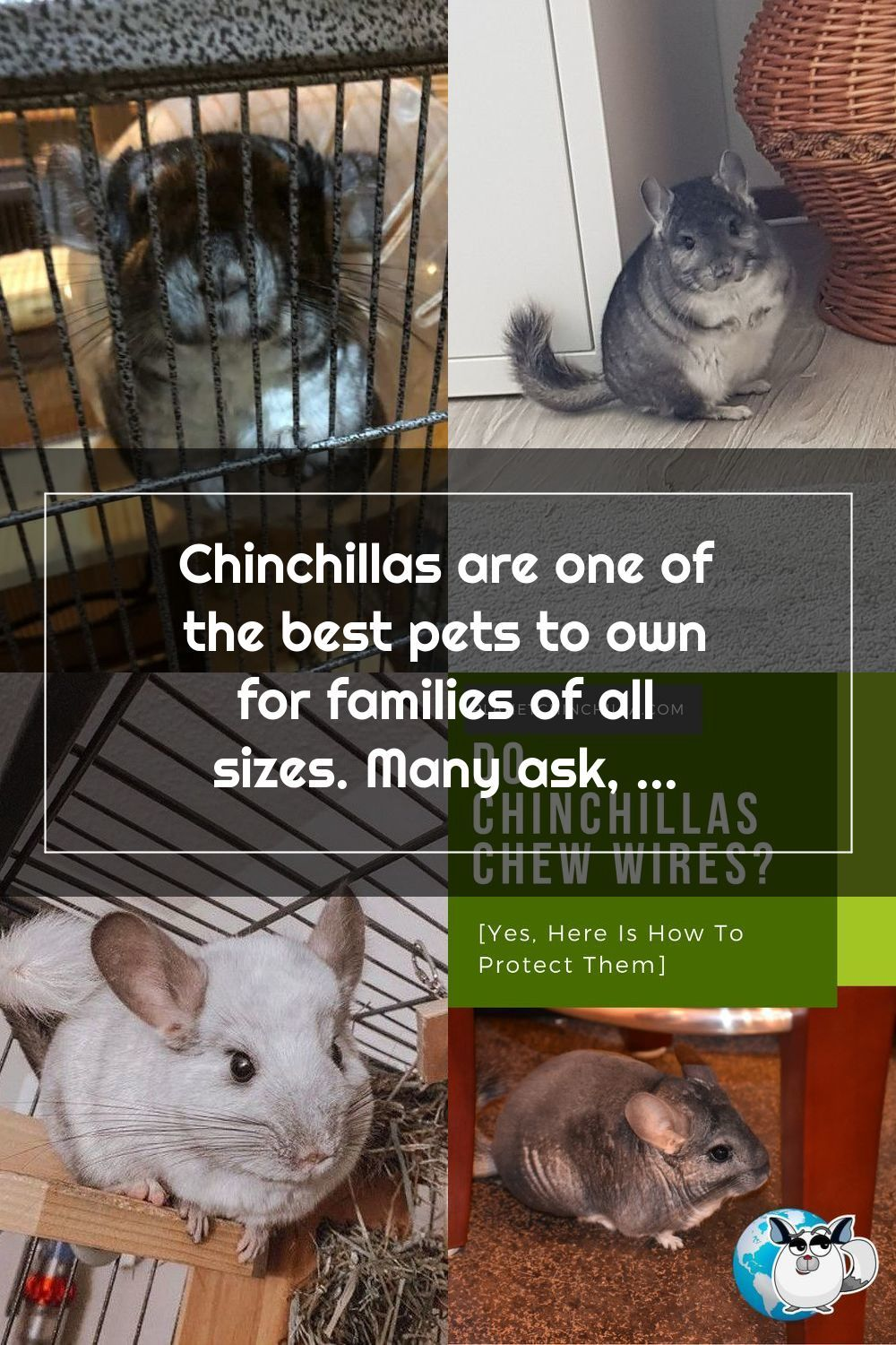 Chinchillas Are One Of The Best Pets To Own For Families Of All Sizes Many Ask Are Chinchillas Hard To Take Care Of No They Are No In 2020 Pets Chinchilla
