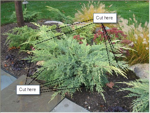 How To Prune Gold Coast Juniper Front Walkway Landscaping Plants Outdoor Gardens