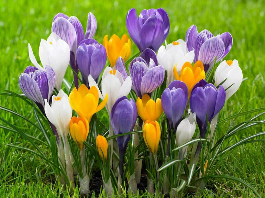 How to Grow and Care for Crocus is part of Home garden How To Grow - Growing Crocus in the home garden is easy if you know when to plant it  The Crocus bulbs should be in the ground before the first frost