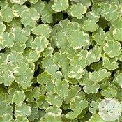 Plante aquatique : Hydrocotyle Sib. Variegata (523176) | bassin ...