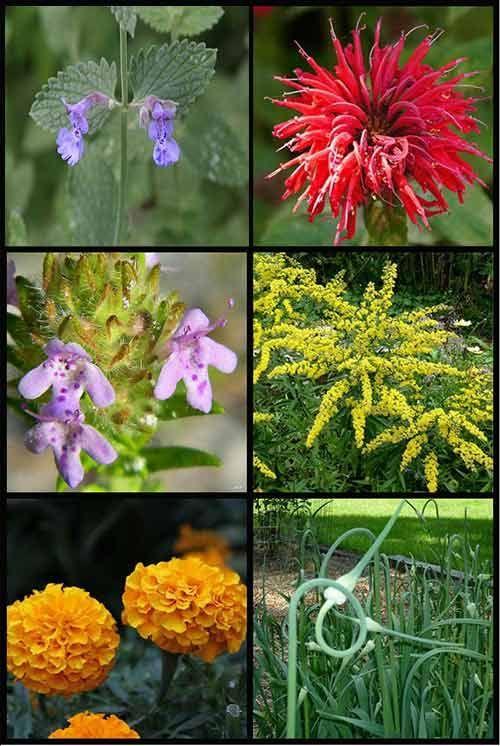 12 Fragrant Plants That Repel Mosquitoes #plantsthatrepelmosquitoes