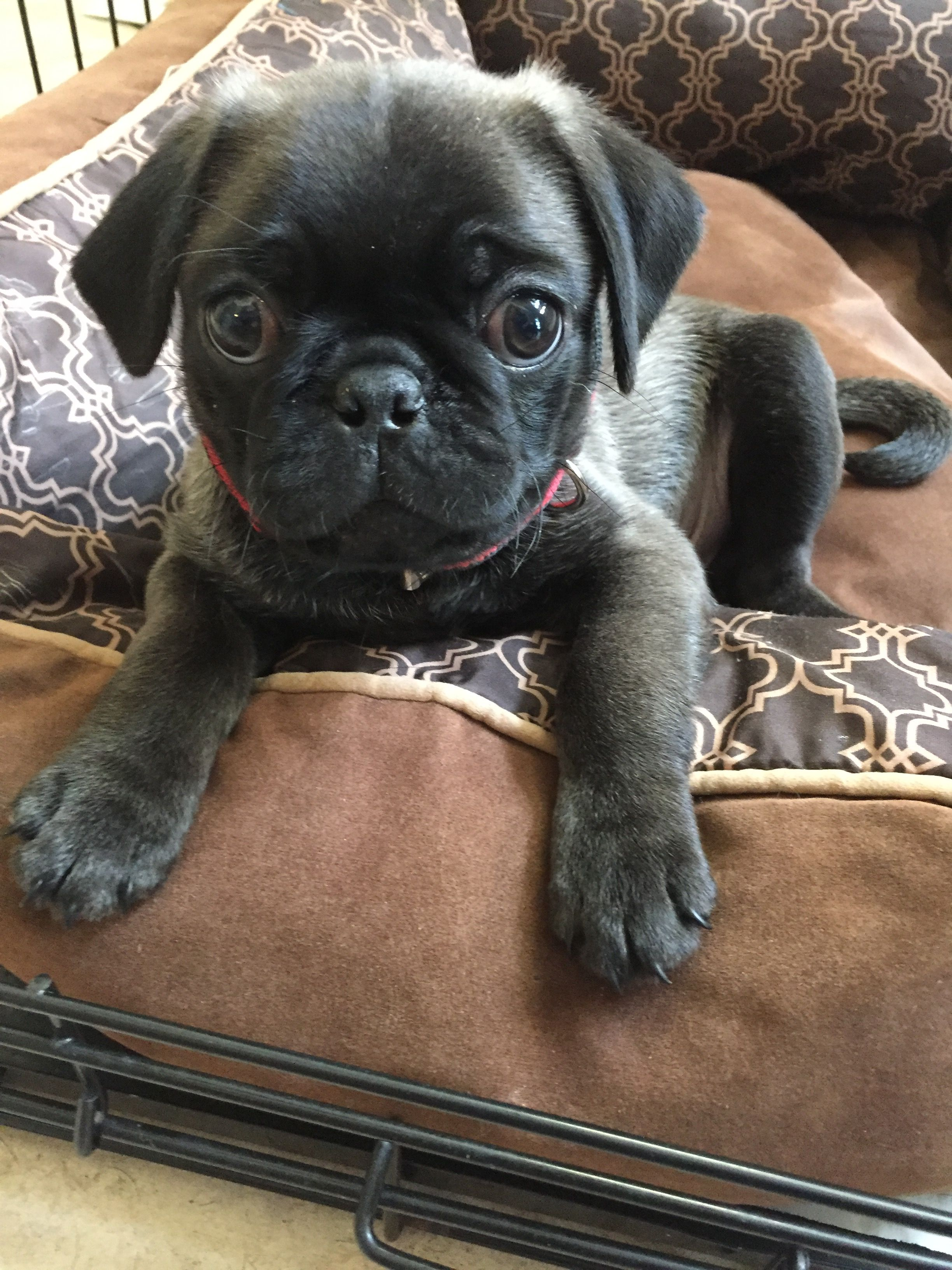 Cute Silver Pug 9 Weeks Old Baby Pug Dog Dog Quotes Funny
