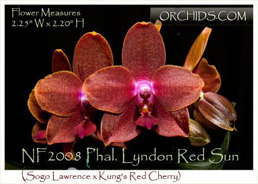 Phal  Lyndon Red Sun (Sogo Lawrence x Kung's Red Cherry