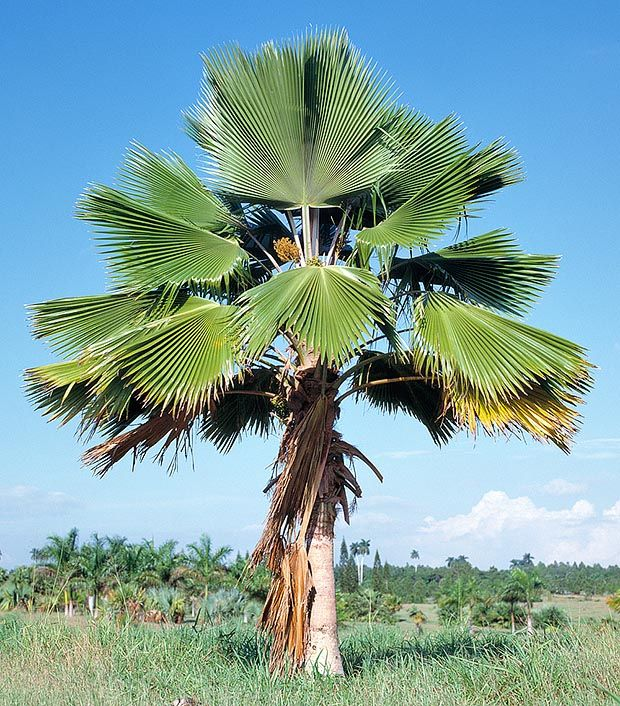 The Fiji Fan Palm Tree, is one of the world's most