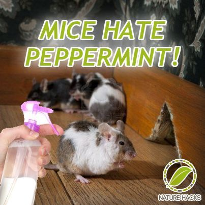 How To Naturally Get Rid Of Mice With Peppermint Maybe This Will Help Keep Them Away From Our Garage Ho Getting Rid Of Mice Mice Repellent Getting Rid Of Rats