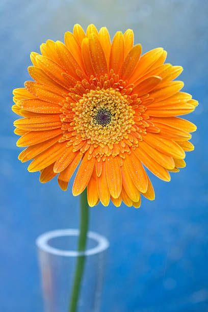 Orange gerbera daisy propped in glass vase | Gerbera daisy ...