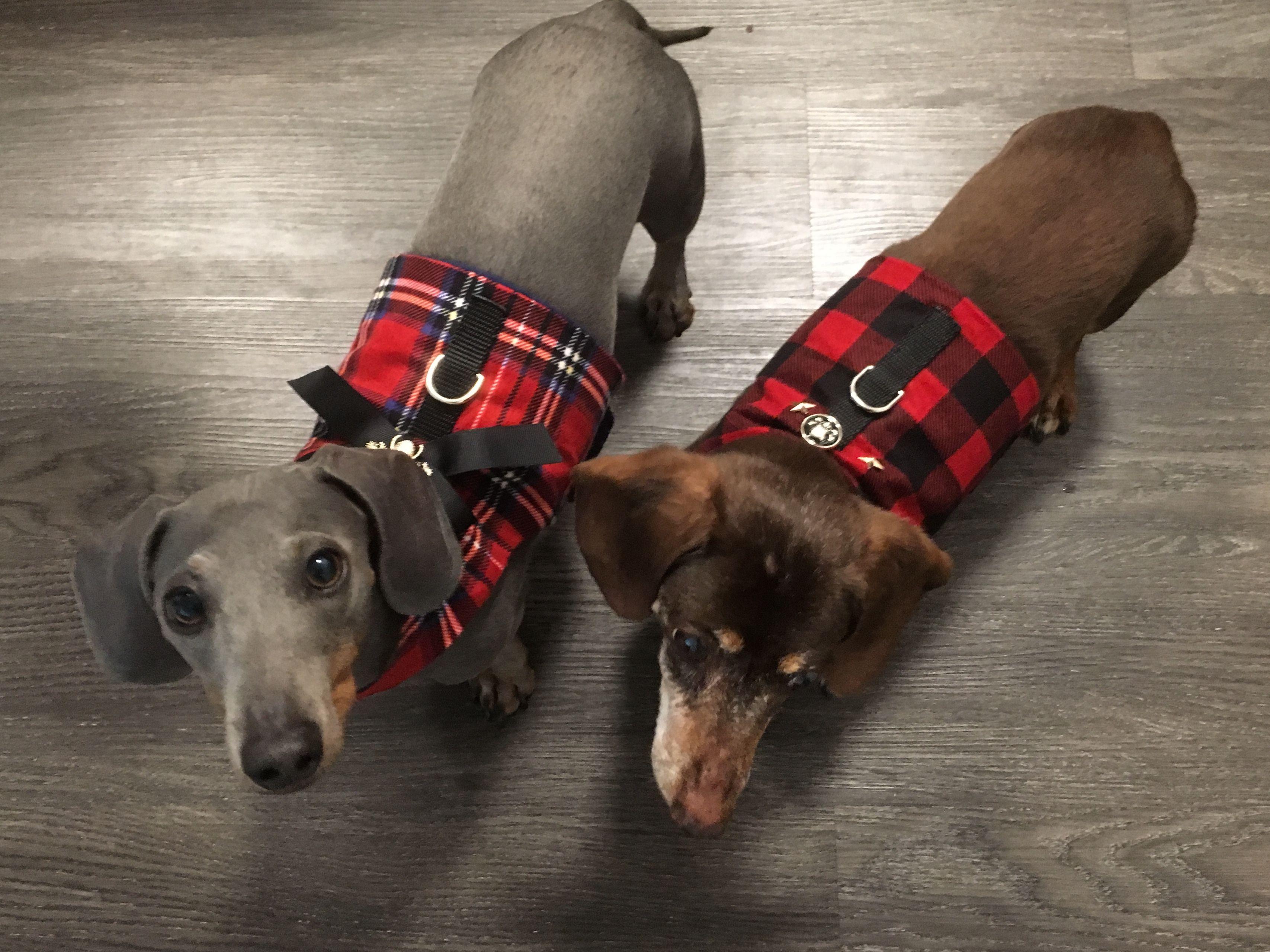 Levidabluedoxie Twinning Dogfashion Bluedachshund