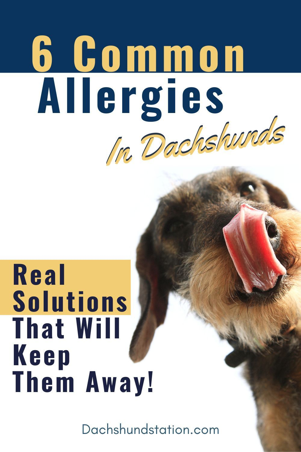 Itchy Dachshund Allergies 3 Solutions That Can Help Dachshund Station In 2020 Dog Allergies Medicated Dog Shampoo Allergies