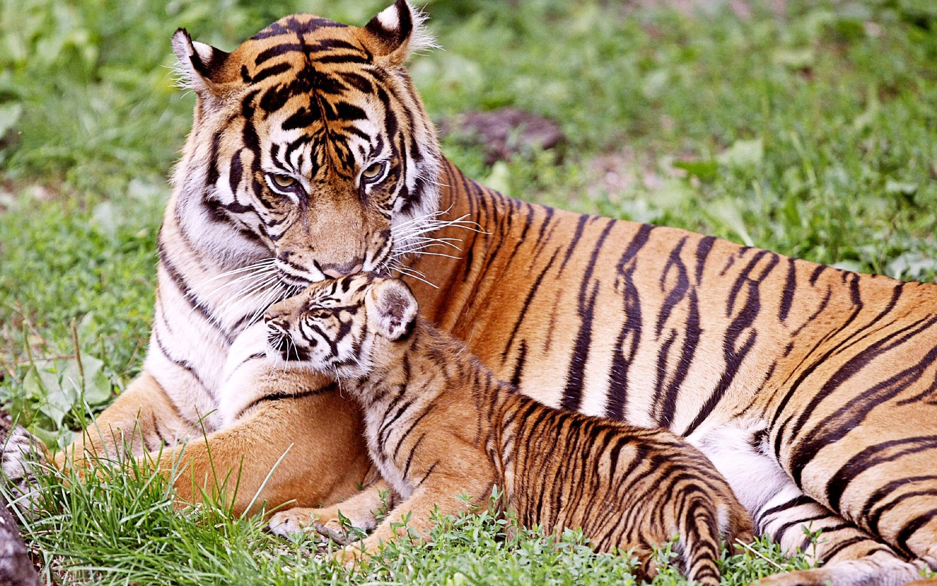 These 36 animal parents with their new born babies in the - Show me a picture of the tiger ...