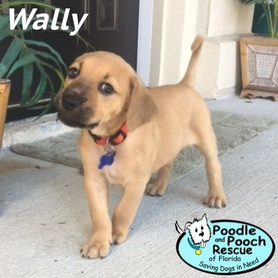 Wally Is A Growing Labrador Retriever And Boxer Blend Puppy Blend Boy Born In Late December 2016 Poodle And Pooch Rescue Adoptabl Dog Adoption Pooch Dog Cat