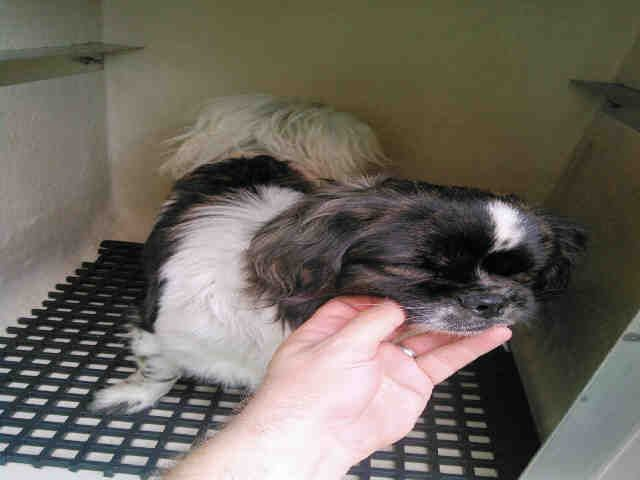 Shih Tzu Dog For Adoption In San Antonio Tx Adn 489319 On
