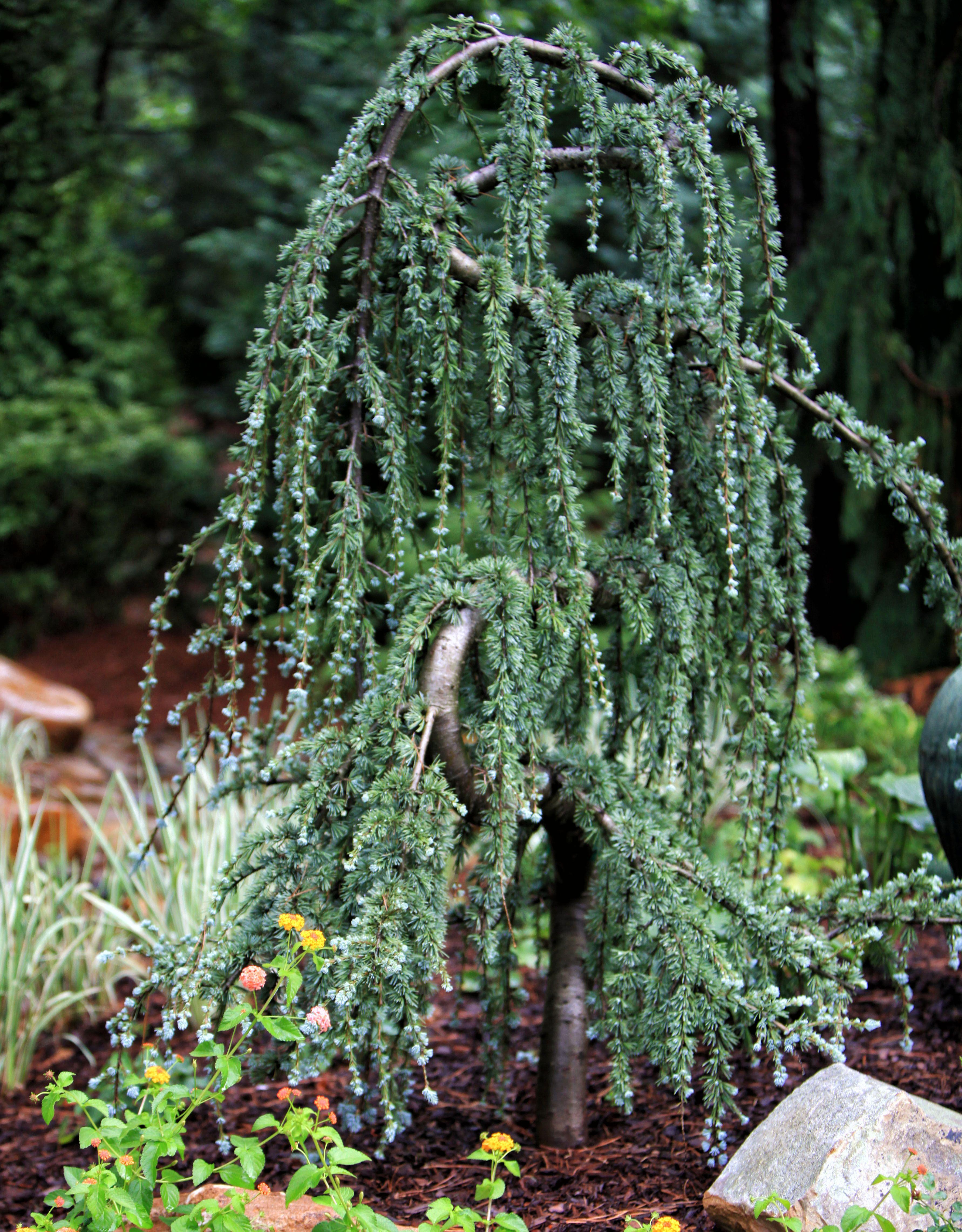weeping blue atlas cedar backyard