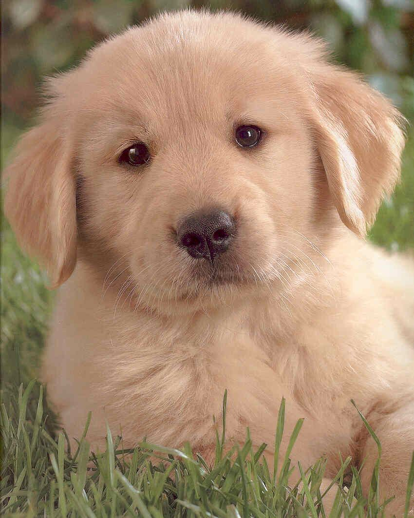 Amazing Golden Retriever Chubby Adorable Dog - 529b3ac9cae0187bc55858a941956417  Perfect Image Reference_3360  .jpg