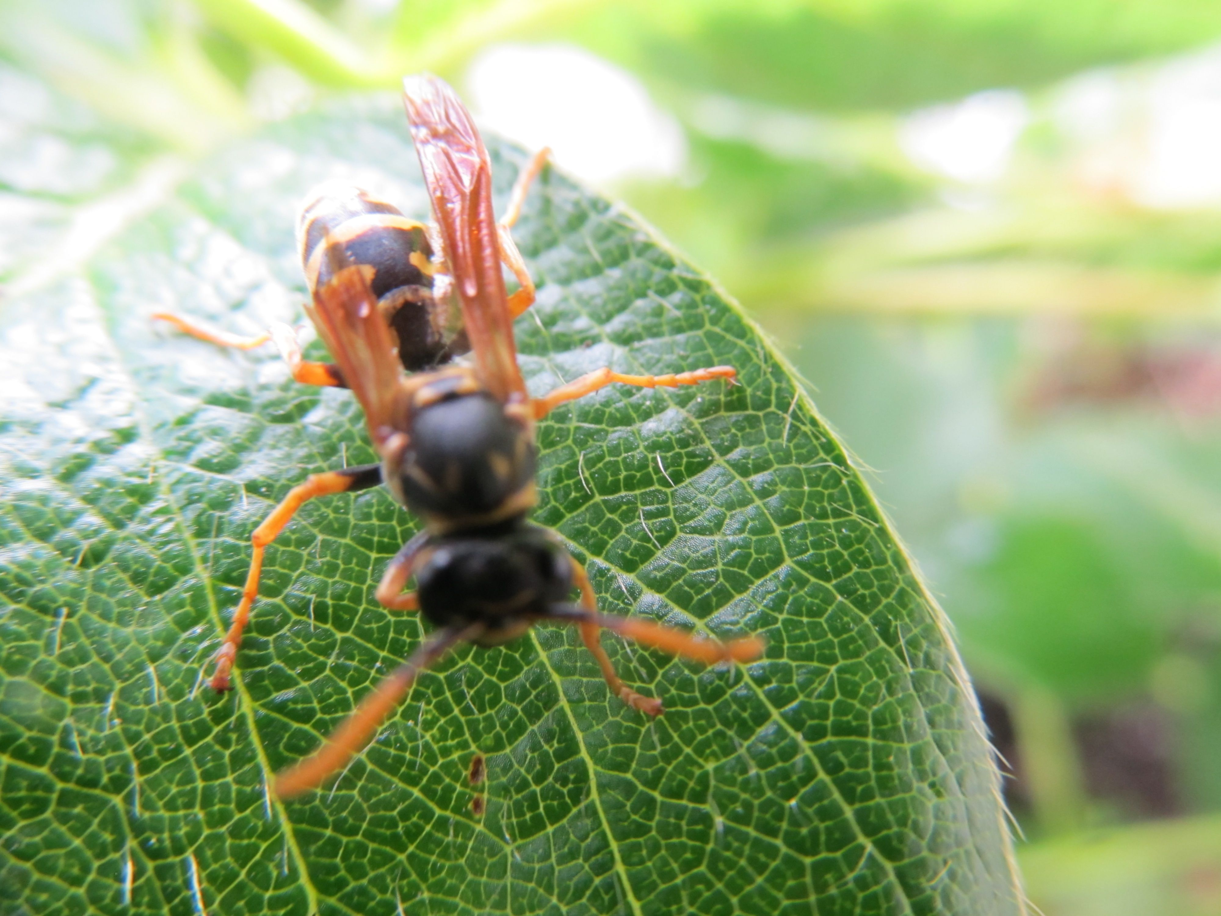 """STUMPY - """"Stumpy"""" is my little Bee friend. His wing was damaged which prevented him from flying. He spent and afternoon and evening with my Grandson and I, slept between the leaves on my Strawberry Plants and flew away the next afternoon."""