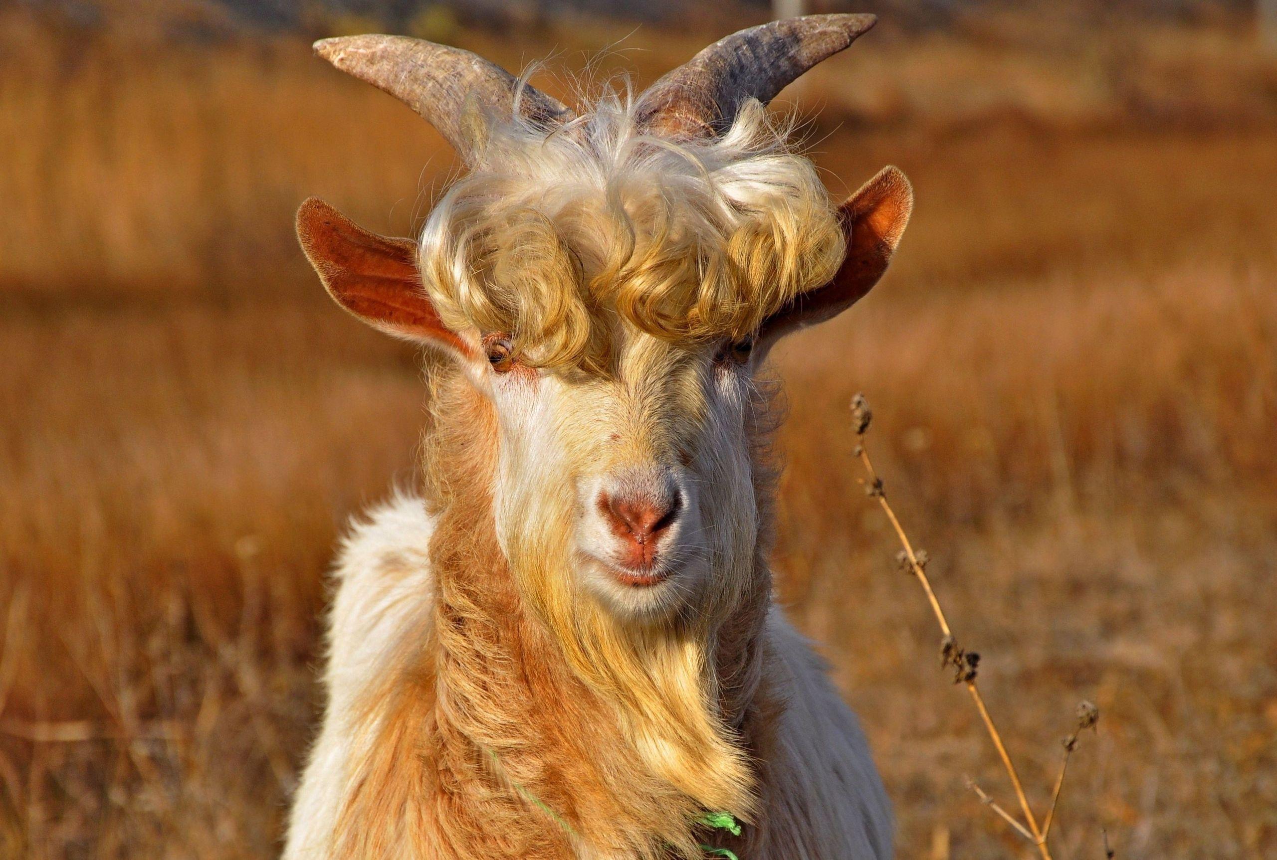 1881855 Goat Category High Resolution Wallpapers Widescreen Goat Goats Goat Horns Pet Birds