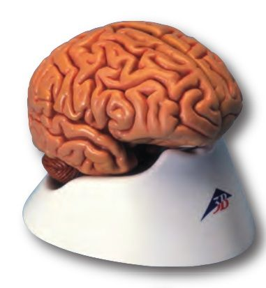 3b Scientific Anatomical Models Brain Classic Five Part Human