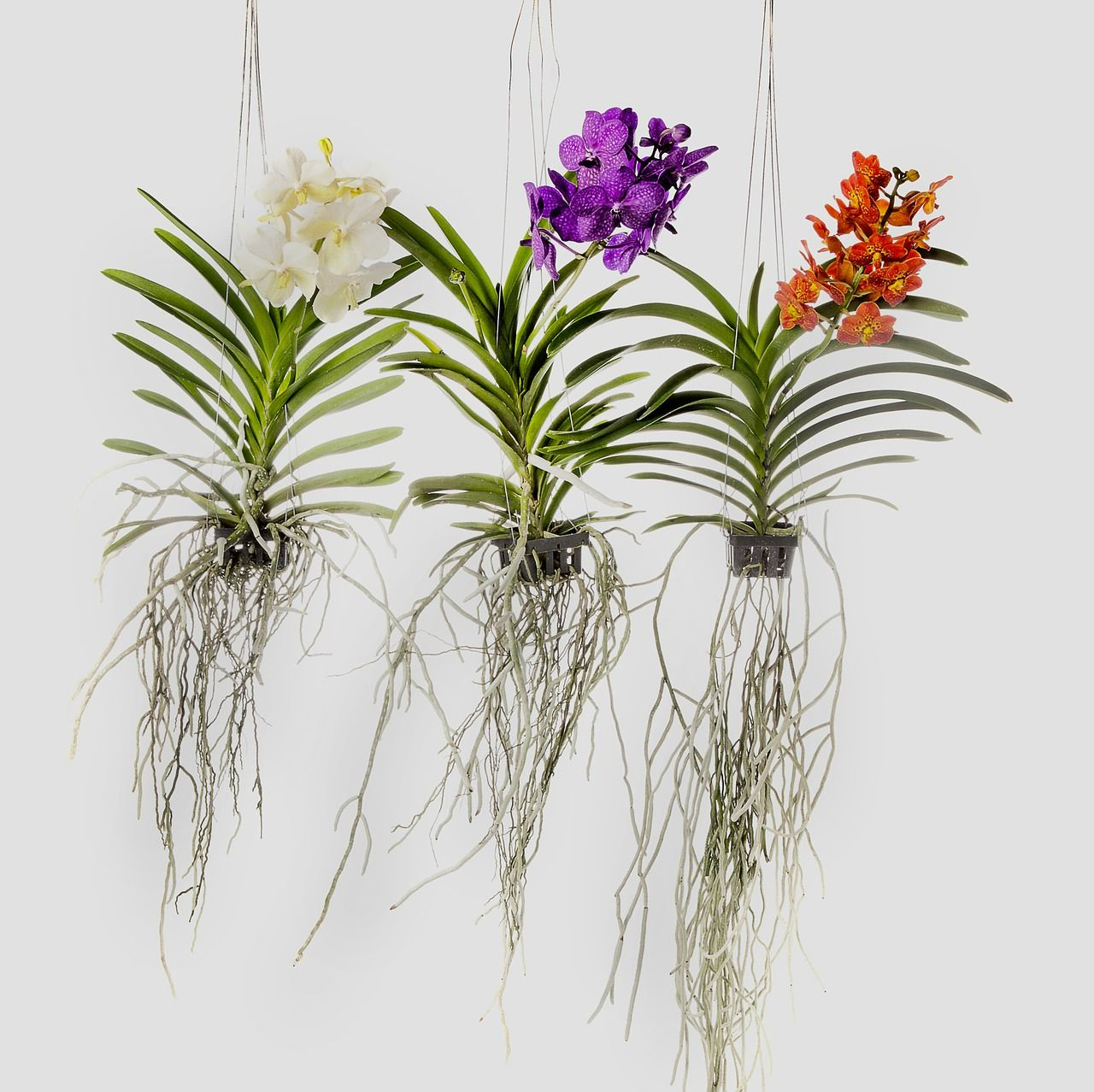 The Best Way To Grow Vanda Orchids Is To Grow Them Bare Rooted In Wooden Basket As They Have Extremely Long Roots Vanda Orchids Hanging Orchid Growing Orchids