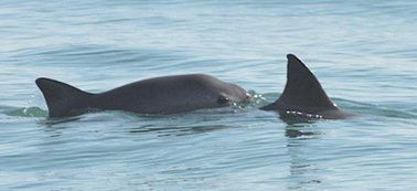 Mexico approves measure to save world's rarest marine mammal - the vaquita.