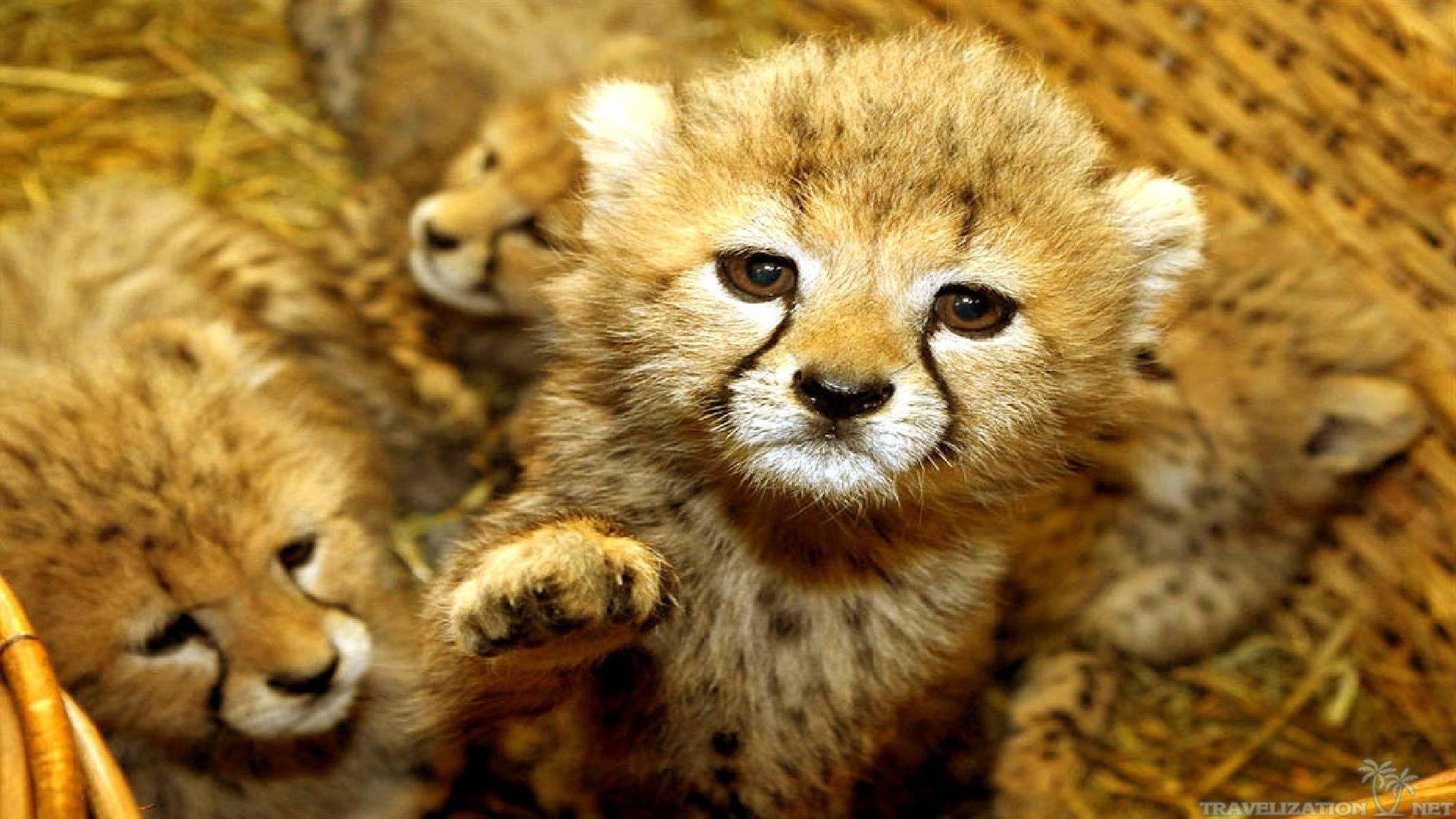 Wallpapers For Gt Cute Baby Animal Backgrounds Cute Baby Animals Baby Cheetahs Cute Animal Photos