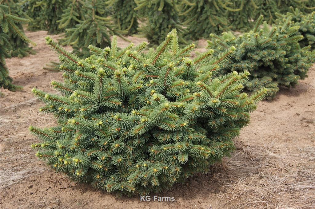 Picea Pungens Mrs Cesarini