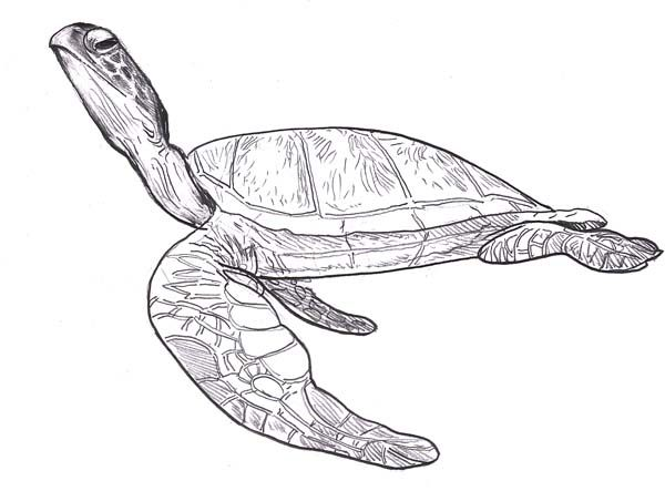 Realistic Turtle Coloring Pages Google Search Coloring Pages For