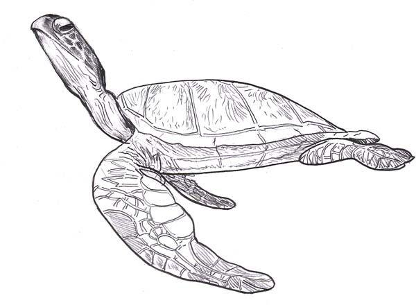 Sea Turtle Leatherback Free Coloring Page