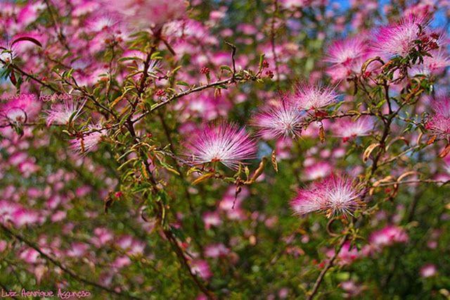 Caliandra Rosa Flores Do Cerrado Flores Brasileiras Arvores