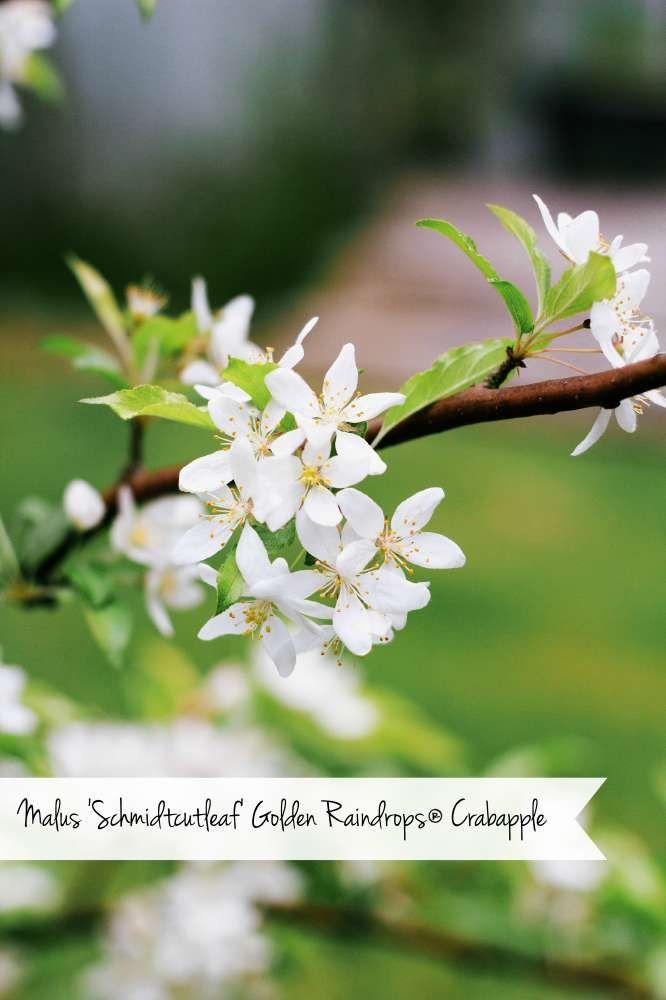 Malus 'Schmidtcutleaf' Golden Raindrops® Crabapple  #gardening #flowers #plants