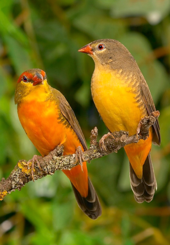 Orange Breasted Sparrow Orange-breasted...