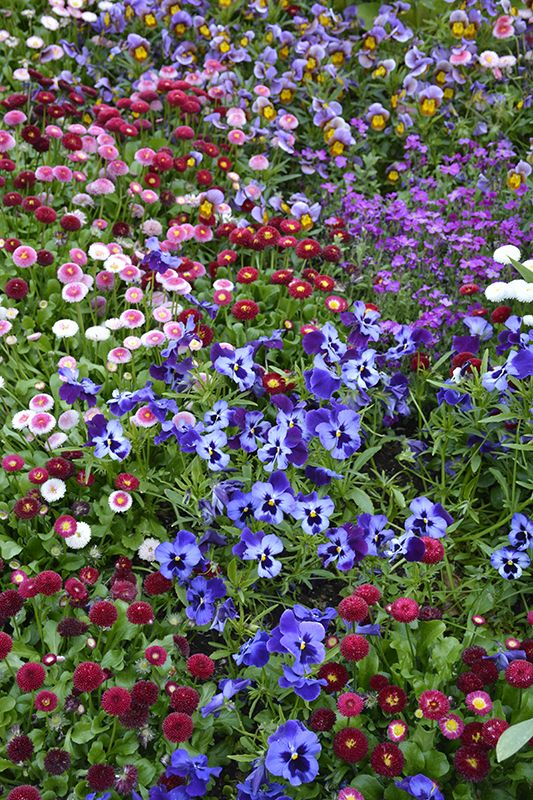 Make Watering Your Flowers Easier With The Orbit Drip Kit Purple Pansies Ground Coverage Flower Garden Flower Garden Purple Pansy Flowers