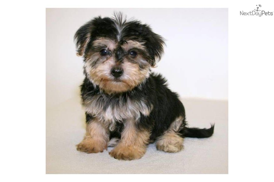 Sophie Our Little Havanese Female Yorkie Puppy For Sale Havanese Teacup Puppies