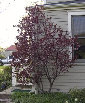 Cistena plum 7 x 7 well known for its fragrant pink flowers which cistena plum well known for its fragrant pink flowers which pop out in the early to mid spring as it is for the striking purple to red leaves that remain mightylinksfo Gallery