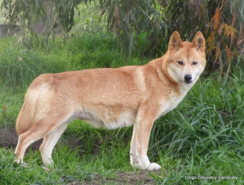 Dingo As A Pet