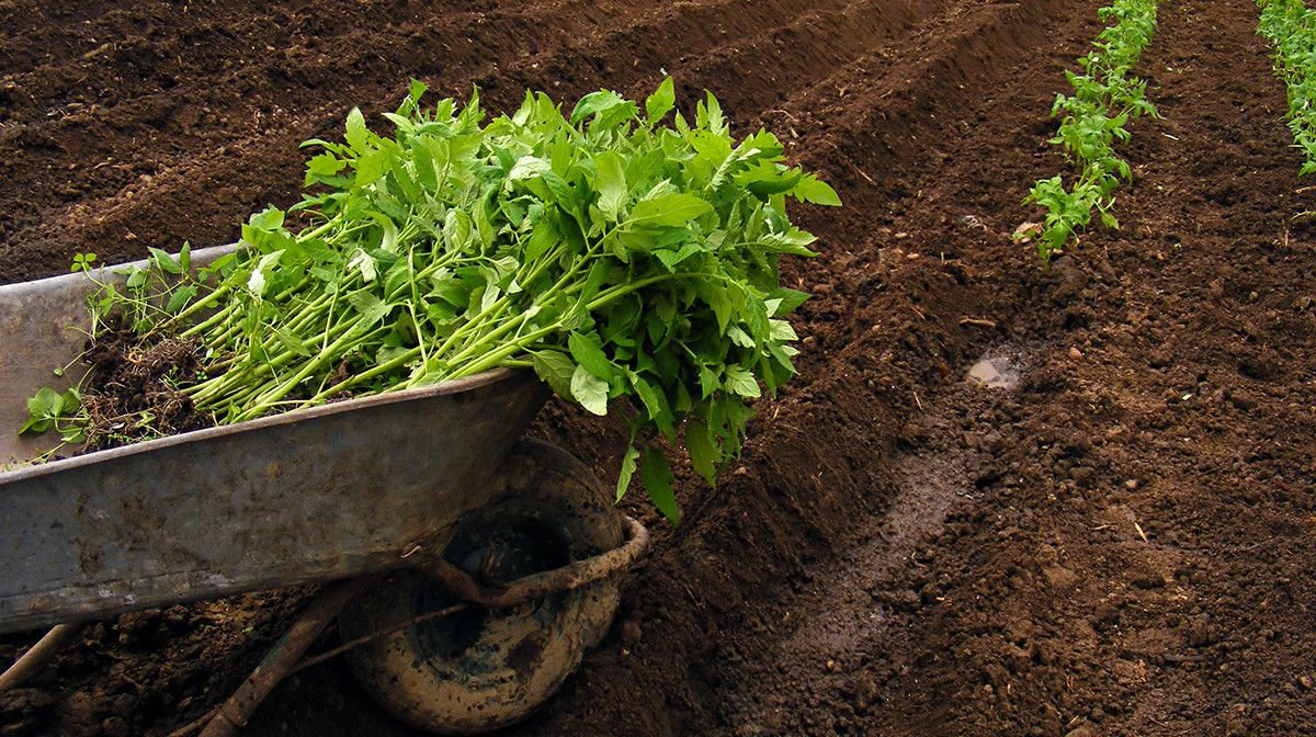 How to Grow Your Own Tomatoes, Part 2: Transplanting   Pinterest ...