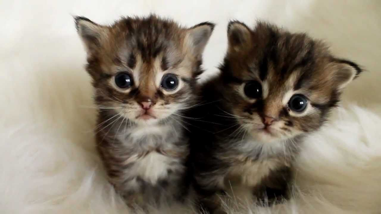 3 Week Old Siberian Kittens Youtube Funny Cats Cats Kittens Siberian Kittens