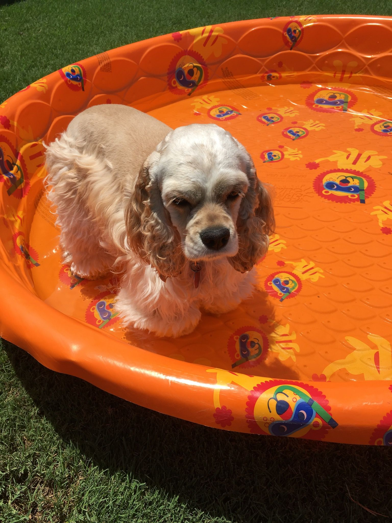 Cocker Spaniel Playing In The Pool Puppies American Cocker Spaniel Spaniel Breeds