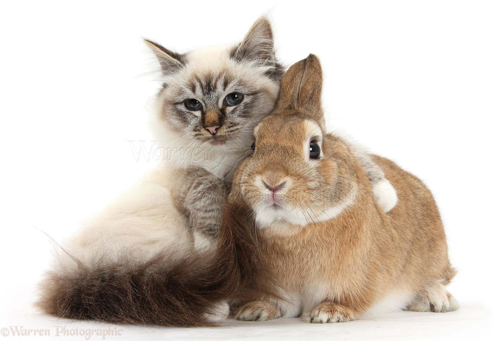 White Background Photograph of Birman Cat and Rabbit